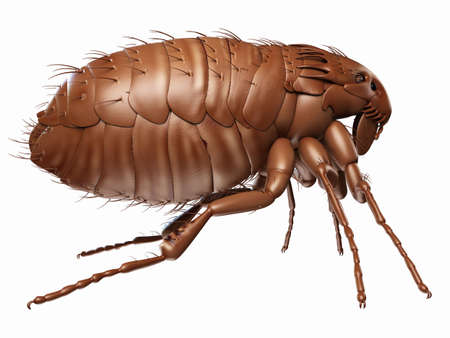 medically accurate illustration of a flea Stock Illustration - 45345751