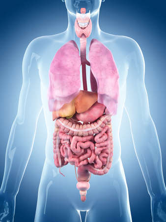 medically accurate illustration of the human organs Stock Photo