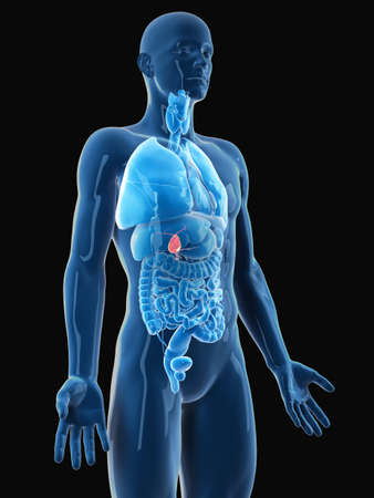 medically accurate illustration of the gallbladder Stock Photo