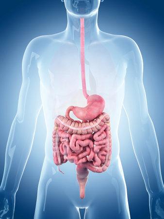 Illustrazione medico accurato del sistema digestivo Archivio Fotografico - 45345847