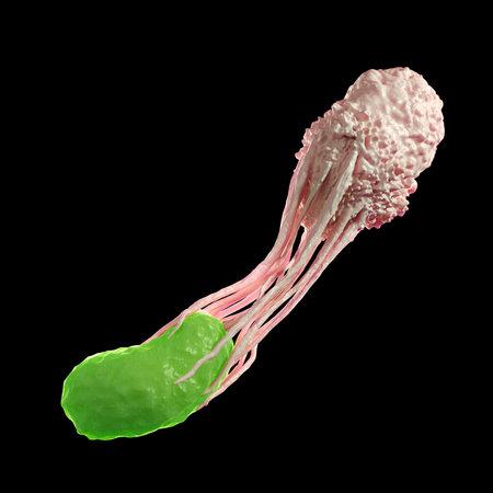 Ilustración médica precisa de un glóbulo blanco que envuelve una bacteria Foto de archivo - 45345975
