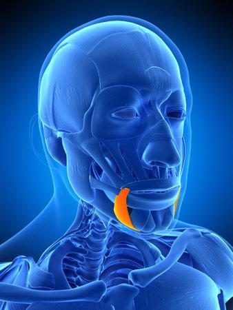 人間の頭頸部解剖 ロイヤリティ...