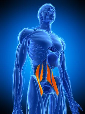 大腰の医学的に正確な図 写真素材