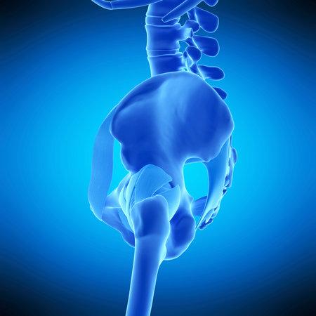 Ilustración Médicamente Precisa De Los Ligamentos De La Cadera Fotos ...