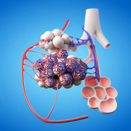 medically accurate illustration of alveoli