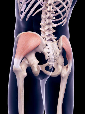 medically accurate illustration of the gluteus medius Stock Photo