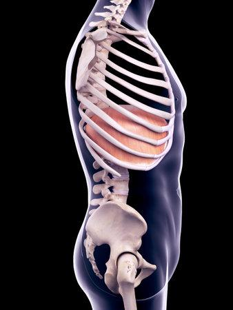 illustration médicalement précis du diaphragme