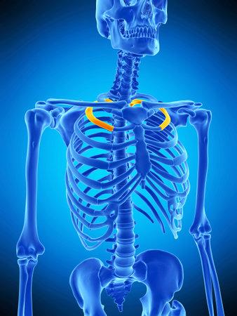 第 2 肋骨の医学的に正確な図 写真素材