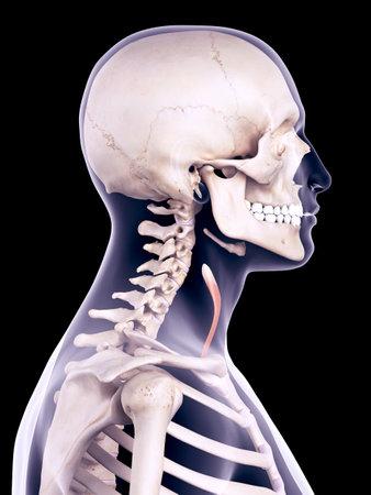 ilustración médica precisa de la esternotiroideo