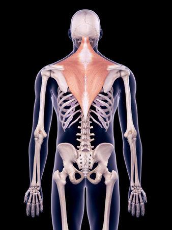 medically accurate illustration of the trapezius Stockfoto