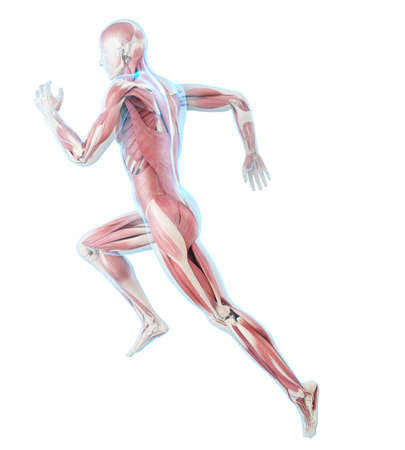 3d rendered medically accurate illustration of a runner�s muscles