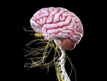 3d rendered illustration of the human brain and head nerves Stock Photo