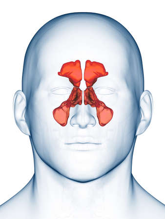 medically accurate illustration of the sinuses