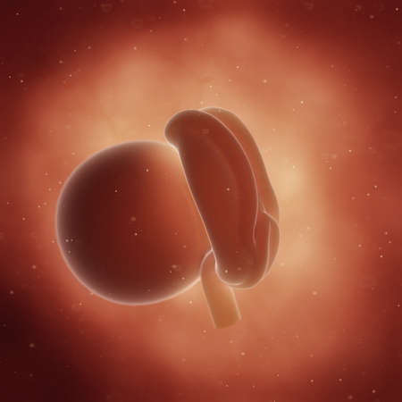 3d rendered medically accurate illustration of a fetus in week 4