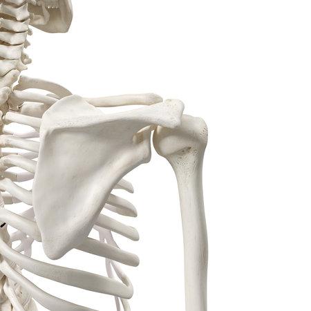 Rappresentazione medicamente accurata 3d delle ossa di spalla Archivio Fotografico - 86216019