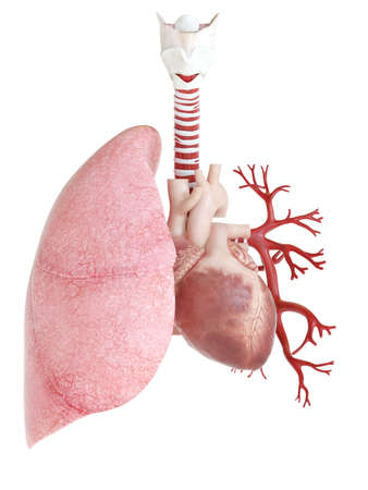 medically accurate 3d rendering of the lung and heart Zdjęcie Seryjne