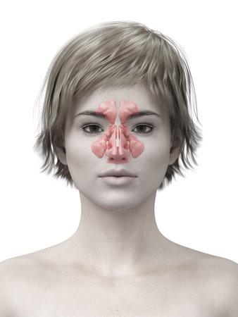 3d teruggegeven medisch nauwkeurige illustratie van de sinussen Stockfoto