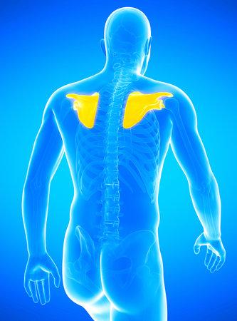 3d rendered medically accurate illustration of a mans shoulder blades