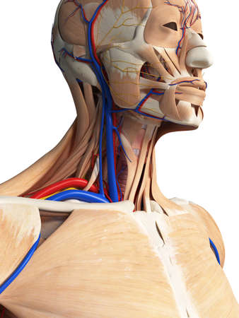 3d rendered medically accurate illustration of the head and neck anatomy Stock Photo