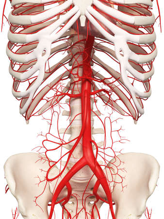 3d Rindió La Ilustración Médicamente Exacta De Las Arterias Humanas ...