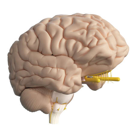 3d rendered medically accurate illustration of the human brain Stock Illustration - 87518204
