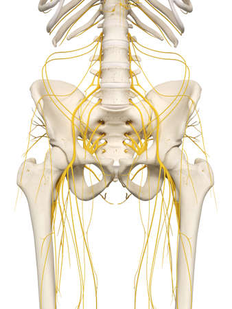 3d rendered medically accurate illustration of the hip nerves Stock Photo