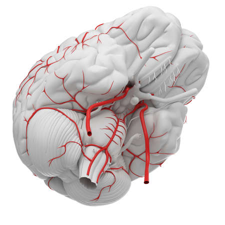 3d rendered medically accurate illustration of the brain arteries