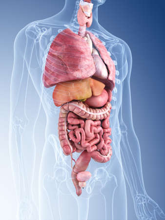 3d rendered medically accurate illustration of the human organs Standard-Bild