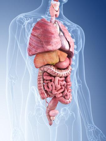 3D rendering illustrazione medica accurato dei organi umani