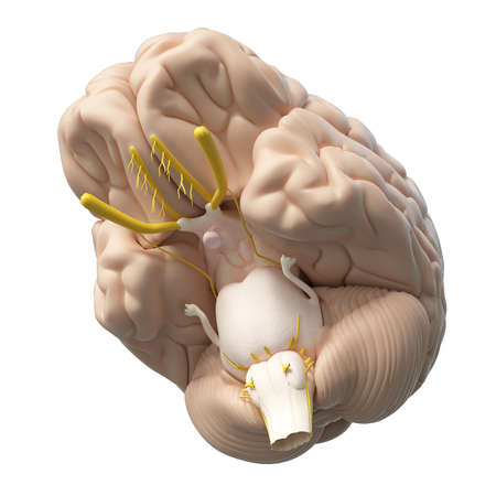 3d rendered medically accurate illustration of the human brain