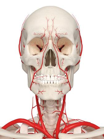 3D rendu médicalement précis illustration des artères de la tête
