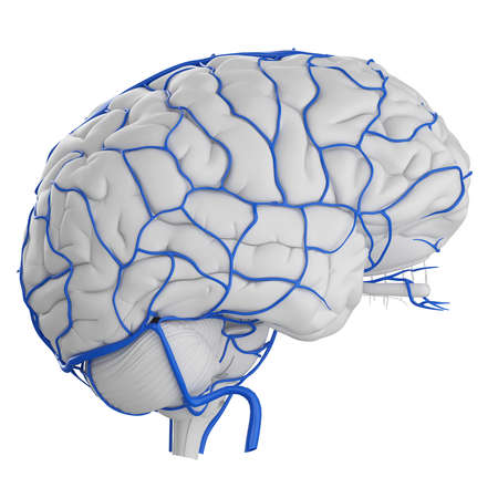 3d rendered medically accurate illustration of the brain veins Stock Illustration - 87518340
