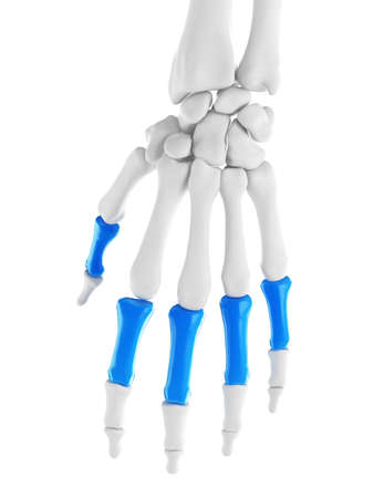 3d rendered medically accurate illustration of the proximal phalanges Stock Photo