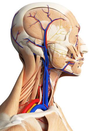 3d Rindió La Ilustración Médicamente Exacta De La Anatomía De La ...