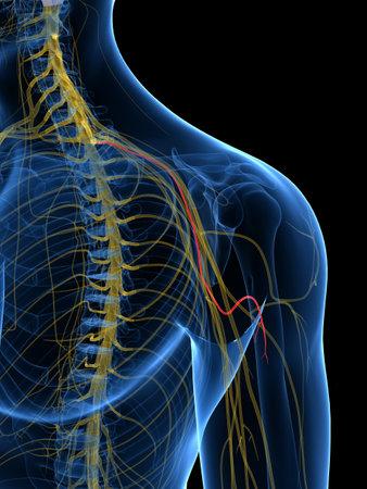 Illustration rendue médicalement précise du nerf cutané brachial médial Banque d'images - 87650824