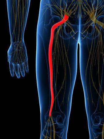 3d rendered medisch nauwkeurige illustratie van de Sciatic Nerve Stockfoto - 87650837