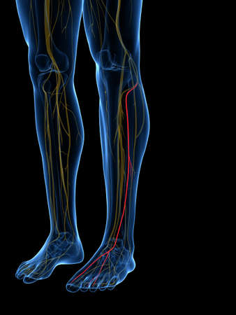3d rendered medically accurate illustration of the Superficial Peroneal Nerve