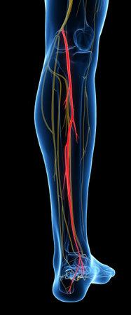 脛骨神経の 3 d レンダリングされた医学的に正確な図