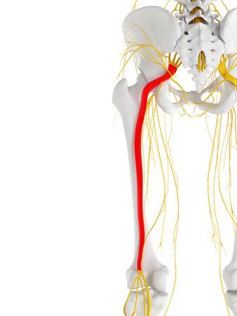 3d teruggegeven medisch nauwkeurige illustratie van de sciatic zenuw