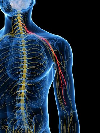 Illustration médicalement précise rendue 3d du nerf musculo-cutané Banque d'images - 87650860