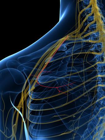 Illustration médicalement précise rendue 3d du nerf suprascapulaire Banque d'images - 87650868