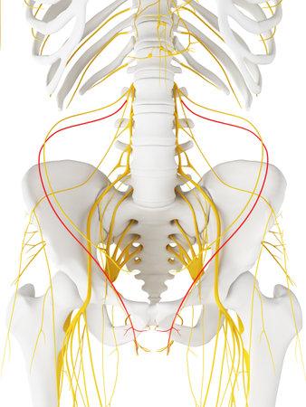 중급 배부 피부 신경의 3D 렌더링 의학적으로 정확한 일러스트 레이션