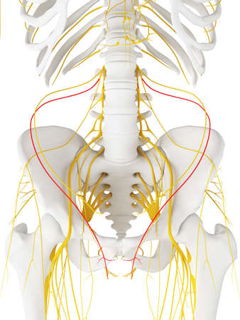 3d teruggegeven medisch nauwkeurige illustratie van de Middendorsale HuidNatuur Stockfoto