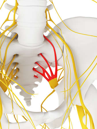 3d rendered medically accurate illustration of the sacral plexus Stock Photo