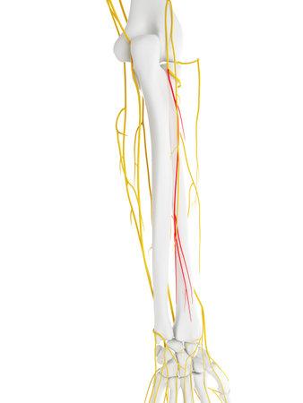 深い枝橈骨神経の 3 d レンダリングされた医学的に正確な図