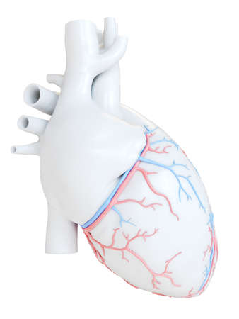 3d rendered medically accurate illustration of the coronary blood vessels 版權商用圖片