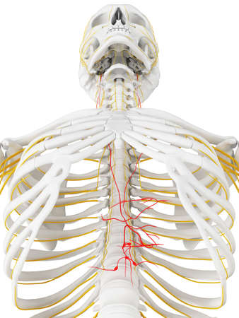 3d rendered medically accurate illustration of the vagus nerve 版權商用圖片