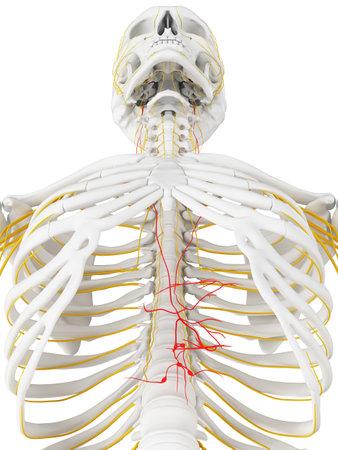 3d teruggegeven medisch nauwkeurige illustratie van de nervus vagus