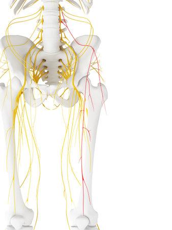 3D 렌더링 된 의학적으로 정확한 측면 대퇴 피부 신경의 그림 스톡 콘텐츠