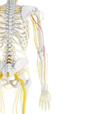 橈骨神経の 3 d レンダリングされた医学的に正確な図